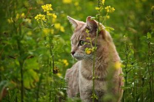 Attraper un chat sauvage en toute sécurité